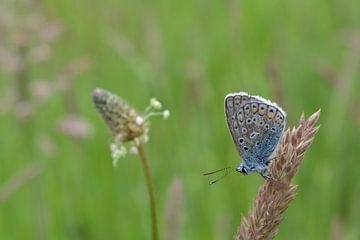 Vlinder Blauwtje Butterfly von Patricia van Nes