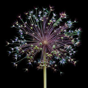 Allium fireworks! van Klaartje Majoor