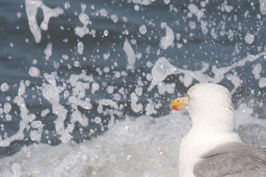 Meeuw, Zilvermeeuw schrikt van opspattend water in de branding, strand Oostkapelle, Zeeland, Holland