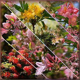 Rododendrons van Carla van Zomeren