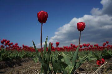 Rode Tulpen van Bart Muller