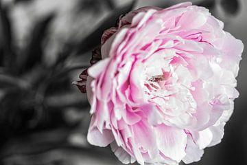 Flower Pioenroos von Rijk van de Kaa