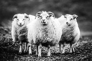 IJslandse schapen in weer en wind van Caroline De Reus