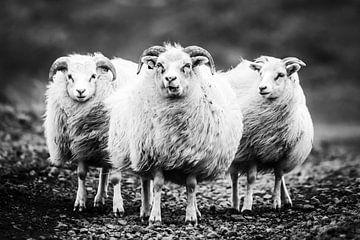 Isländisches Schaf von Caroline De Reus