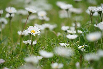 Gänseblümchen auf grünem Rasen von Tom Van Dyck