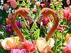 Flamingos und Tulpen von FotoGraaG Hanneke Miniaturansicht