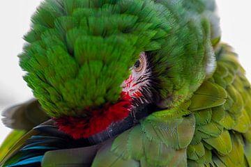 Sleepy Macaw van Dirk van Doorn