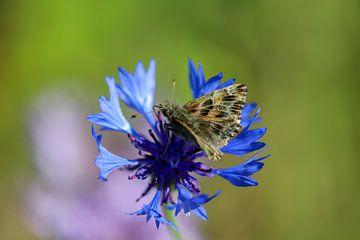 Schmetterling (Malven-Dickkopffalter) auf einer blauen Kornblume von Reiner Conrad