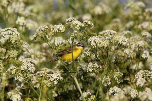 Gelbe Bachstelze (Vogel)