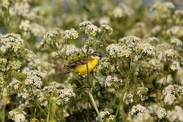 Gele kwikstaart (vogel) van Leon Verra