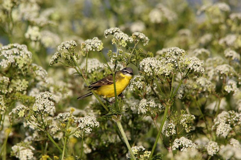 Gelbe Bachstelze (Vogel) von Leon Verra