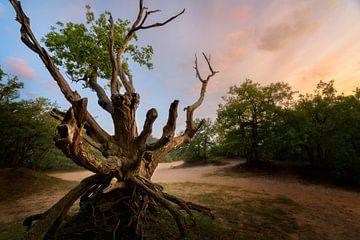 Ein schöner alter Baum in der Vrachelse Heide bei Oosterhout von Jos Pannekoek