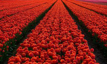Tulpenfeld in den Niederlanden von Michel Knikker