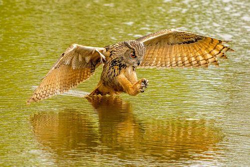 Een wilde oehoe springt naar zijn prooi in het water. Met de reflectie van de roofvogel.