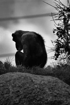 Oude chimpansee von Kim de Groot