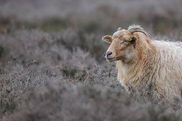 Schaap op de hei / sheep on the moor / Schafe auf dem Moor van Karin van Rooijen
