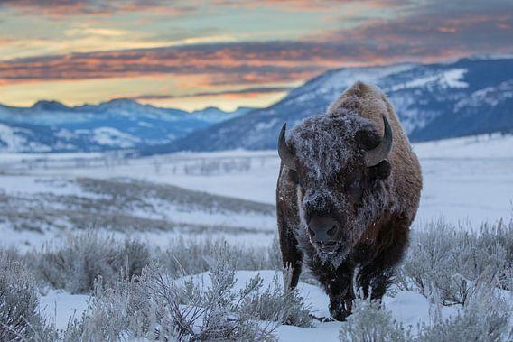 Amerikaanse bizon (Bison bison) in de Lamar vallei bij zonsopkomst, VS, Wyoming, Yellowstone Nationa