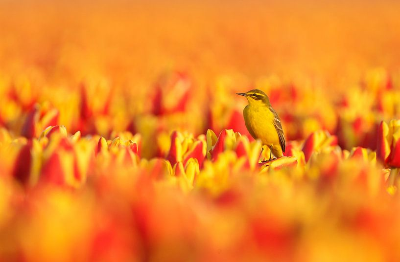 Yellow wagtail on Dutch tulips in spring. sur Menno Schaefer