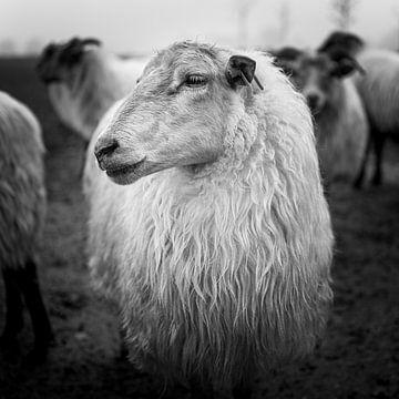Drenther Heide Schafe von Joris Louwes