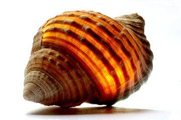 Muschel in Orange von De Rover