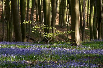 Hallerbos - 'Het blauwe bos' van Ronald De Neve