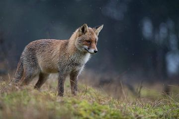Fuchs ( Vulpes vulpes ) in der Dämmerung am Waldrand von wunderbare Erde