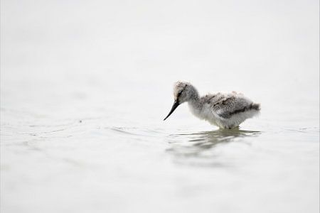 Little baby avocet von Mike Bos