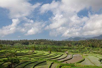 rijstveld in vroeg stadium in Bali, Indonesië. Kokospalm en hut bij achtergrond van Tjeerd Kruse