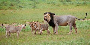 mannelijke leeuw met welpen van