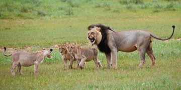 mannelijke leeuw met welpen van Jürgen Ritterbach