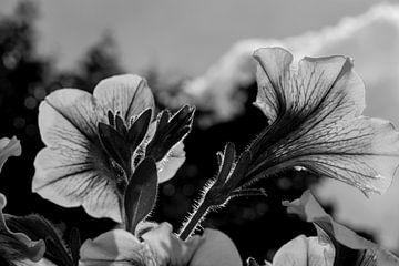 Petunie (schwarz-weiß) von FotoGraaG Hanneke