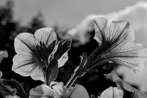 Petunia (Zwart Wit)