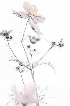 Cosmea bloem van Tot Kijk Fotografie: natuur aan de muur