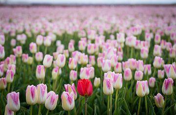 Roze / rood tulpenveld van Mischa Corsius