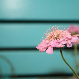 Roze bloem van Jetty Boterhoek