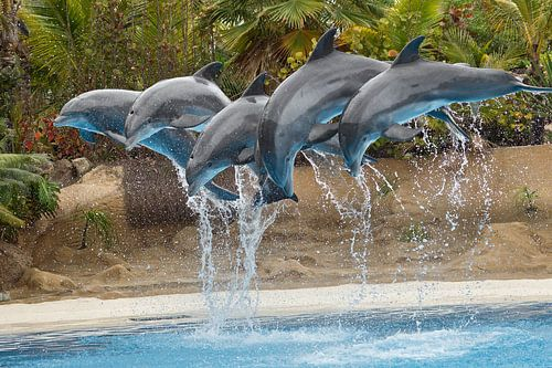 Delfinshow im Loro Parque van