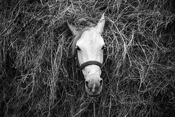 Im Heu verstecktes Arbeitspferd im ländlichen Guatemala von Laurens Coolsen