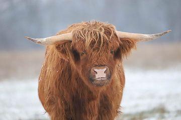 Highlander écossais dans la neige sur Karin van Rooijen