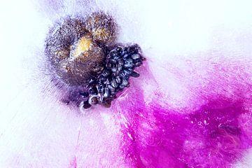 Eisige Anemone von Monika Scheurer