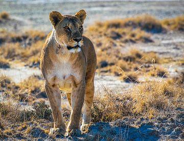 Lionne dans le parc national d'Etosha, en Namibie sur Rietje Bulthuis