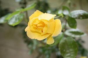Gele roos in de regen van