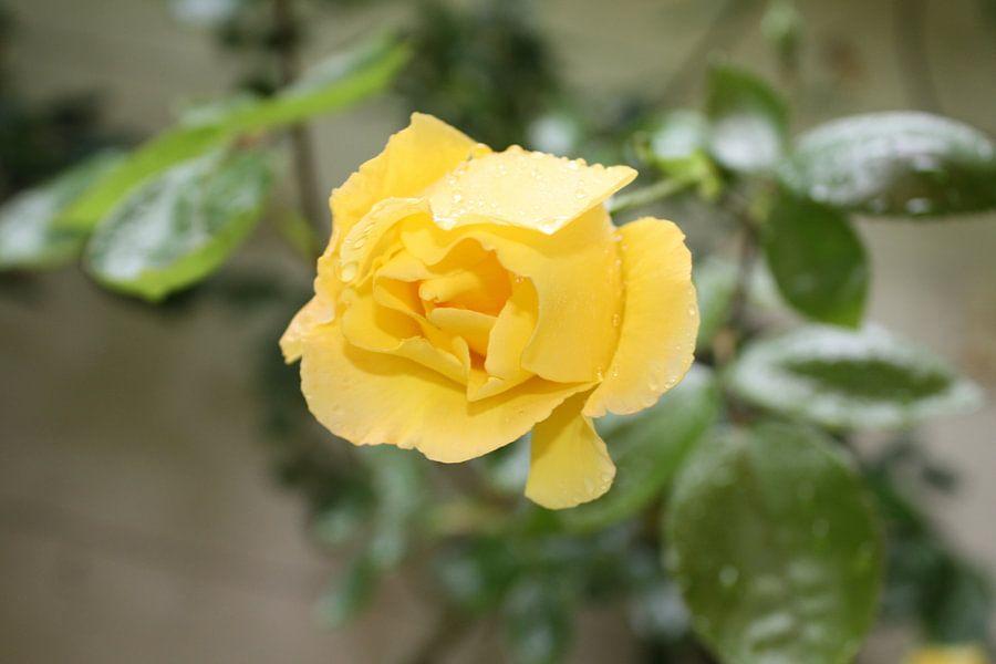 Gele roos in de regen