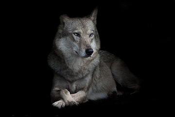 Strenge vrouwelijke wolf zittend gekruist been in nachtelijke duisternis, geïsoleerde zwarte achterg van Michael Semenov