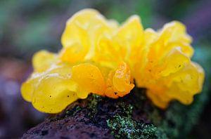 Gelei-schimmel, gele trilzwam van Anita van Gendt