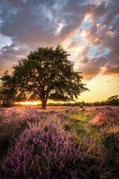 Heide in bloei van Hans Brasz