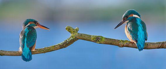 IJsvogel - Liefde op het eerste gezicht in panorama