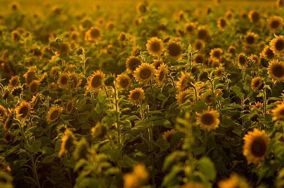 Zonnebloem veld in zonsondergang