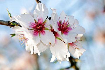 Bloeiende amandel bloesem in het voorjaar van