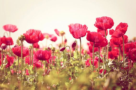 poppies/papavers