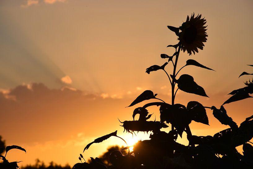 Sunflower sunset van Ingrid de Vos - Boom